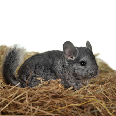 Chinchillas: feeding a healthy diet