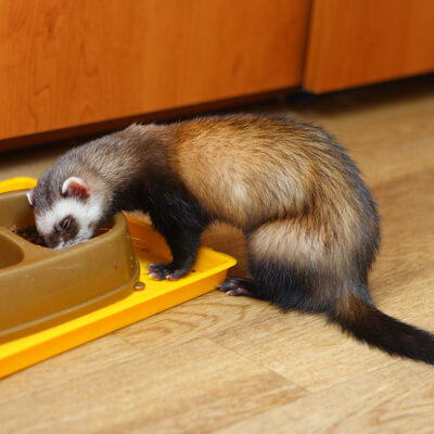 Feeding your ferret