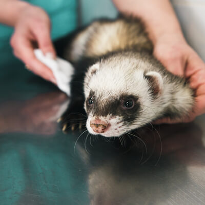 Miscellaneous health problems in ferrets