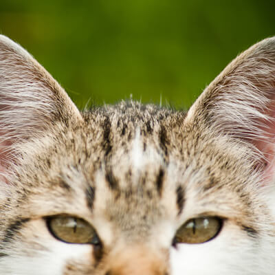 Ear disease in your cat