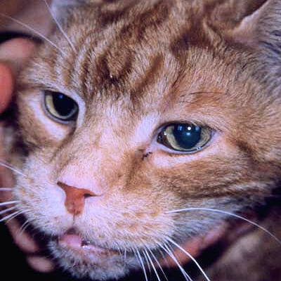Acromegaly in cats