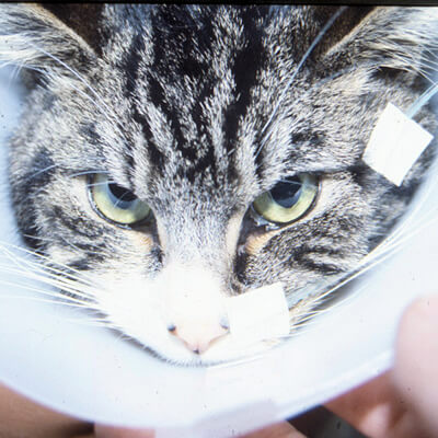 Liver problems in your cat