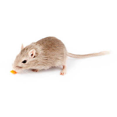 Gerbils: feeding a healthy diet