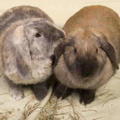 Rabbit companions