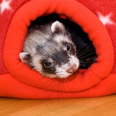 Housing your ferret