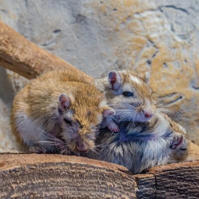 Gerbils: Parasitic Diseases
