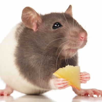 Mice and rats: feeding a healthy diet